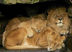 Family. #nature #animals #lions: Big Cats, Animals, Animal Kingdom, Creature, Lions, Wild Cats, Lion Family, Families, Photo