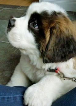fancitaste: capitu-65: (via All the Cutest Puppies Online Today [19 Pictures] - Terribly Cute) (via TumbleOn ): St Bernards, Dogs, Puppy Love, Saintbernard, Bernard Pup, Saint Bernards, Dog Breeds, Animal