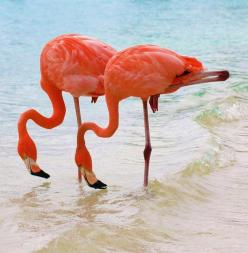 Flamingos are always called 'pink'...never seen one that was a positive coral color? :): Animals, Pink Flamingos, Nature, Caribbean Twin, Beautiful Birds, Photo
