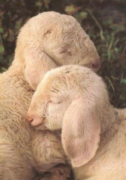 * * Friends are God's way of showing us what love is all about.: Farm, Animals, Sweet, Baby Lamb, Creature, Goat, Lambs, Sheep, Things