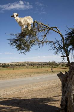Goats in Argan Trees Photos - Morocco: Trees Photos, Goats In A Tree, Animals, Critters, Argan Trees, Climbing Goats, Tree Goats, Baby Goats, Goats In Trees