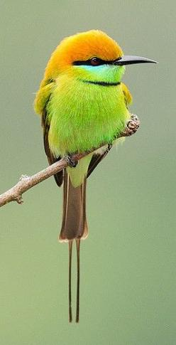 ^Green Bee Eater: Bees, Animals, Birdie, Pretty Birds, Beautiful Birds