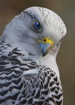 Gyrfalcon by Scott McDaniel. My favorite bird at the Cascade Raptor Center in Eugene, OR: Animals, Nature, Creatures, Falcons, Prey, Beautiful Birds