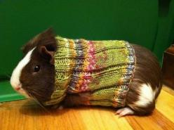 How cute is this! (do guinea pigs mind wearing sweaters, I ask myself?): Guineapigs, Pig Sweater, Animals, Guinea Piggies, Stuff, Pets, Guinea Pigs