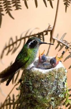 Hummingbird and her Babies by V.Marie: Humming Birds, Humming-Bird, Hummingbird, Baby, Hummingbirds, Animal