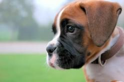 I'll have a boxer puppy of my own. They're so lovable! <3: Boxer Dogs, Animals, Sweet, Boxer Puppies, Pet, Puppys, Dog Names, Boxers