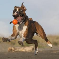 I've got it, I've got it, I've got it!    #dog #boxer: Photos, Ball, Animals, Dogs, Pet, Boxers, Funny Animal