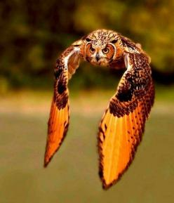 I love it when people take pictures of owls in this position, it really lets you see how huge their wingspan is, and it's really pretty.: Flight, Animals, Nature, Beautiful, Stefano Ronchi, Birds, Photo, Owls