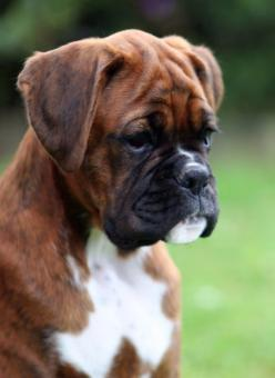 I love my boxer so much - they are people with fur as I always say about ours: Animals, Boxer Dogs, Boxers Dogs, Boxer Faces, Brindle Boxer
