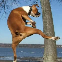 If Chuck Norris was a dog. . .he'd kick your butt!: Animals, Boxer Dogs, Pet, Kung Fu, Ninja Boxer, Boxers