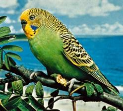 Just this week I discovered someone's long lost pet parakeet has come to feed with the natives in the yard.: Budgerigar Parakeet, Birds Eggs Nests Feathers, Wild Life, Pretty Birds, Beautiful Birds, Aka Parakeets, Animal