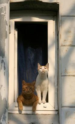 Kittehs in the #window by Juliane Meyer: Cats 2 O, Tabby Cat, Cat In My Window, French Cats, Window Cats, Windows, Cats 1, Animal