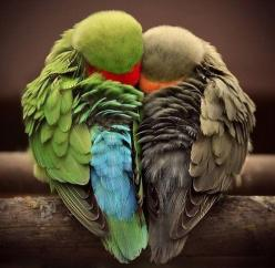 little lovebirds. Animals are amazing. That's one reason I don't eat them. ; ): Animals, Heart, Sweet, Nature, Lovebird, Things, Birds