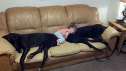 Loving the dogs!: Great Danes, Animals, Pets, Funny, Kids, Baby, Friend, Big Dogs