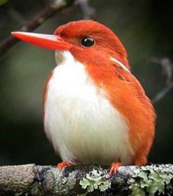 Madagascar Pygmy Kingfisher- he's so cute!:)Brought to you by Cookies In Bloom and Hannah's Caramel Apples   www.cookiesinbloom.com   www.hannahscaramelapples.com: Madagascar Pygmy Kingfisher, Birds Kingfishers, Birdie, Birds Birds Birds, Beautifu