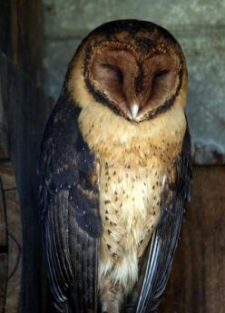 Magestic owl, are these the ones from the guardians of gahool movie?: Animals, Nature, Sleepy Owl, Birds, Barn Owls