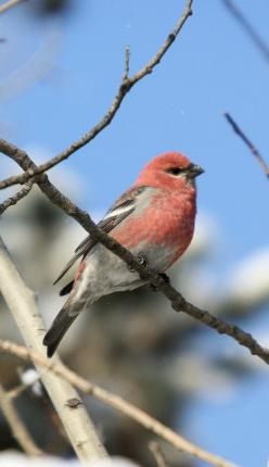 male Pine Grosbeak: Animals Awwww, Cute Baby Animals, Pine Baby, Male Pine, Birdwatching, Animal Babies, Photo