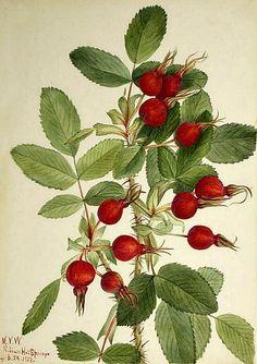 Mary Vaux Walcott, Bourgeau Rose Hips, 1923.