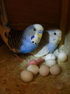 Mum and Dad with eggs and a newly hatch budgie chick.  They are so tiny and fragile when just hatched it seems a miracle they survive.: Animals, Parakeets, Budgies, Family, Baby, Families, Birds