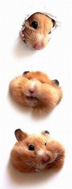 no other reason to pin this - other than - look at it!!!: Animals, Cuteness, Stuff, Pets, Funny, Hamsters, Adorable, Things, Smile