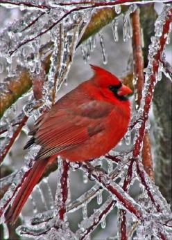 Northern Cardinal resting after an ice storm: Ice Storm, Cardinal Birds, Cardinals Birds, Christmas, Beautiful Birds, Birds Cardinals