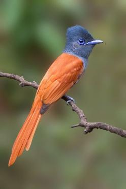 Paradise Flycatcher by ~CarlSutherland: Flycatcher Bird, Poultry, Birdie, Carl Sutherland, Animals Birds, Beautiful Birds