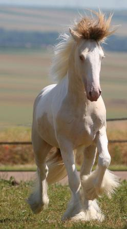 Pearly Erwyn, a two-year-old buckskin and white colt/stallion, with a pearl gene, hence his lighter colouration and blue eyes. Photo by Corinne Eisele.: Beautiful Horses, Gypsy Watering, Equine, Blue Eyes, White Horses, Pretty Horses, Animals Horses