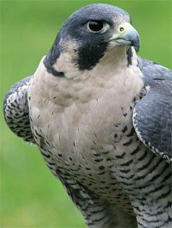 Peregrine falcons ... any falcons ... are wonderful to see.: Peregrine Falcons, Art Birds, Wildlife, Fancy Falcons, B Hawks Falcons, Connor S Falcons, Animal Birds, Animals Birds Raptors, Bird Watchin