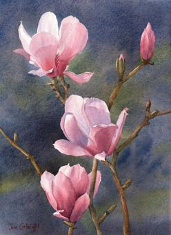 Pink Magnolias with Dark Background #watercolor jd: Paintings Flowers, Watercolor Paintings, Flower Paintings, Watercolor Flowers, Art Flowers, Pink Magnolias