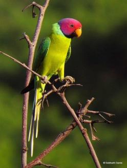 Plum-headed Parakeet: Birds Birds, Birds Birdhouses, Plum Headed Parakeet, Adorable Parrots, Dream Birds, Beautiful Parrots, Beautiful Birds, Птици 2 Birds