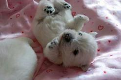 Polar bear pup: Animals, Polar Bears, Westies, Puppys, Baby Polar Bear, Dog