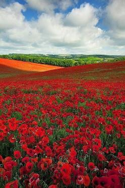 Poppy Field in England: Photography Travel Nature, Dreamy Nature, Nature ดอกไม้กับธรรมชาติ, Nature, Flowers Gardening Etc, Beautiful Plants, Place, Landscapes