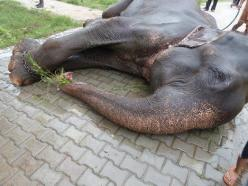 Raju The Elephant Cries After Being Rescued Following 50 Years Of Abuse, Chains: Elephants, Animal Rescue, Animals, Animal Cruelty, Animal Abuse, Elephant Weeps, 50 Years, Elephant Cries