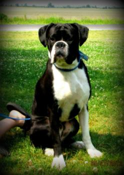 Sealed Brindle Boxer: Boxers Boxers, B S Boxers, Boxers Rule, Boxers Dogs, Adorable Sweet Boxers And, Bouncing Boxers, Beautiful Boxers, Boxers ️