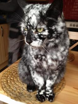 Seems this is a mutation of a black/red tortie with the red mutated to white (need to google more info). AMAZINGLY WOW!: Beautiful Cat, Animals, Pretty Cat, White Cats, Awesome Cat, Unusual Color, Kitty, Cat Lady