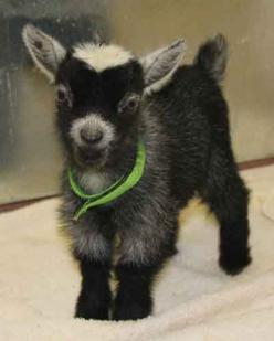 So cute!: Farm Animals, Critters, Babygoat, Pigmy Goat, Pet, Pygmy Goat I, Baby Animals, Baby Pygmy Goats, Baby Goats