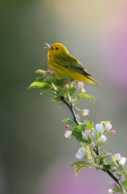 Song of Spring by Robert Blair: Animals, Yellow Warbler, Songs, Beautiful Birds, Garden, Spring, Photo