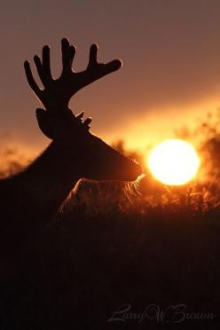 Sun-kissed whitetail buck by Larry W Brown: Whitetail Bucks, Sunset, Silhouette, Larry, Brown, Photo, Deer, Animal, Sun Kissed