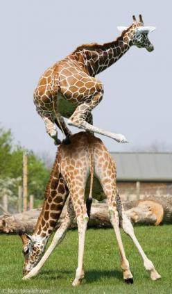 These 22 Crazy Animals Can Really Jump!: Animals, Leap Giraffe, Leapfrog, Leapgiraffe, Things, Funny Animal, Frogs, Giraffes