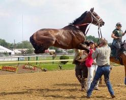 This photo was taken in May 2004 at Pimlico Race Course in Baltimore. The horse, Stephan's Angel, was not very happy being saddled for the Miss Preakness Stakes and leaped straight up in the air. She went on to finish second in the race and is now a b