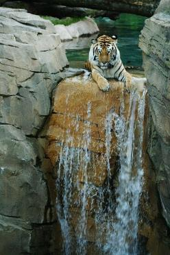 ... wildlife: Wild Animal, Big Cats, Animals, Waterfall, Bigcats, Wildlife, Wild Cats, Tigers, Photo