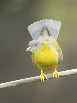 Yellow Footed Green Pigeon ~ Also known as the Yellow-legged Green Pigeon.  This is a common species of green pigeon found in the Indian Subcontinent. It is the state bird of Maharashtra.: Footed Pigeon, Indian Subcontinent, Birds Birds, Yellow Legged Gre