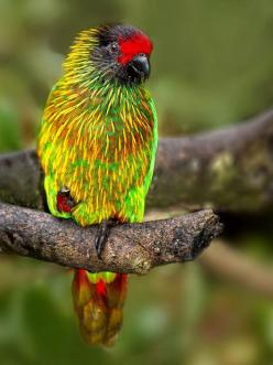 Yellow Streaked Lory is found in Indonesia and Papua New Guinea. Its natural habitats are subtropical or tropical moist lowland forests and subtropical or tropical mangrove forests.: Yellow Streaked Lory, Animals, Yellowstreaked, Yellowish Streaked Lory,