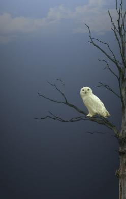 you know, to carry my letters n stuff: Amazing, Photos, Animals, Nature, Creature, White Owls, Vahid Esmailzadeh, Snowy Owl, Birds