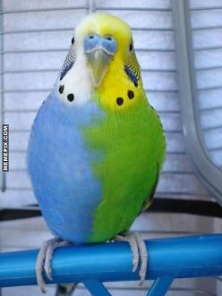 A rare green and blue budgie. In 25 year of pet store owener, I have never seen this coloring    followpics.co: Half Sider, Parakeets, Animals, Budgies, Nature, Color, Pet, Beautiful Birds