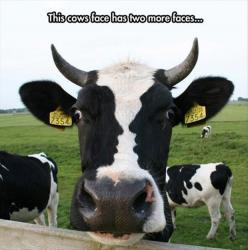 awsome: Optical Illusions, Animals, Faces, Funny Picture, Funny Stuff, Funnies, Things, Photo, Cows