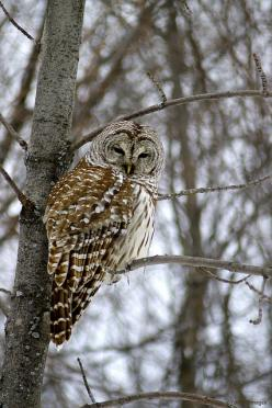 Barred Owl: We saw this magnificent bird in our pecan tree last night.  ..Cold Morning  by S. J. Coates..: Owls Giraffes, Birds Owls, Owls I, Owl Photography, Eagles Hawks Owls, Barred Owls, Owls Animal, Owls Photography