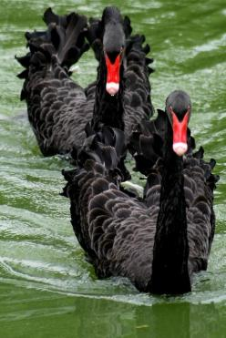 Black Swans from Western Australia. The Broadmoor in Colorado Springs used to have these. They are beautiful.: Adorable Animals, Animals Swans, Black Swans Our, Black Swans They, Black Birds, Birds Swans, Beautiful Birds, Animals Misc