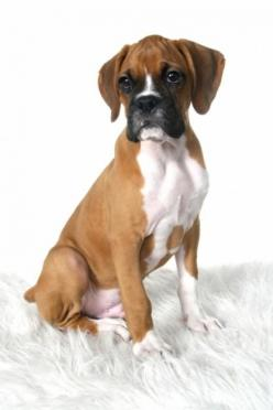 Boxer Dog... Love boxers!! Gonna try to take some photos of Xena like this! (If she'll sit still that long!!): Boxer Dogs, Dog Look, Boxer Puppies, Baby Dogs, Dogs Boxer, Boxers ️