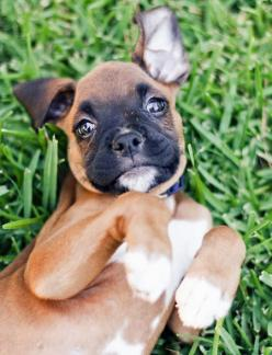 boxer pup: Boxer Dogs, Boxer Puppies, Puppys, Boxers, Puppy Names, Boxerpuppies, Animal
